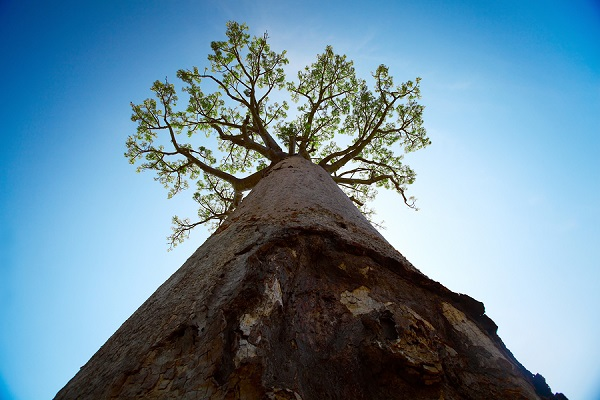 Baobab tree with green leaves on blue clear sky background. Mada